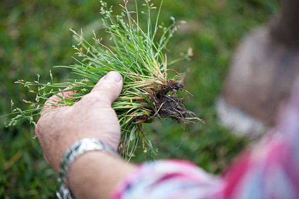How To Id Amp Treat Common Lawn Weeds